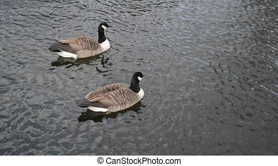 canadian geese swimming in the pond and drinking water