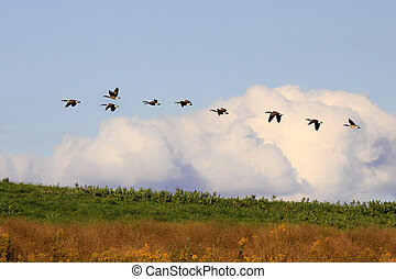 Canadian Geese in Flight - Canadian Geese flying in golden...
