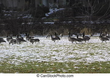 canadian geese in park