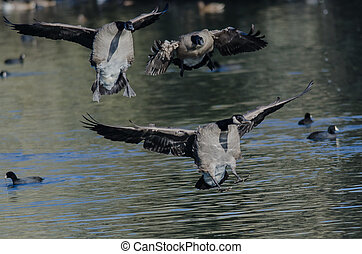 Canadian Geese Landing on the Still Pond Water