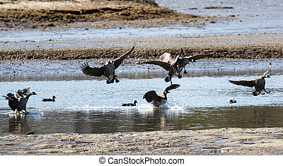 Canadian geese landing on water in a marsh