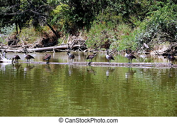Canadian geese lined up on a log