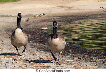 Canadian Geese on the March