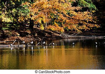 Canadian Geese Perch on Sunken Log