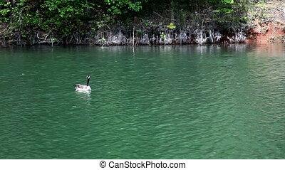 Canadian Geese Taking flight