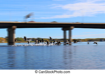 Canadian Geese taking off for flight making splash on the water