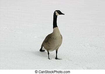 Canadian Goose (Branta canadensis) in Snow
