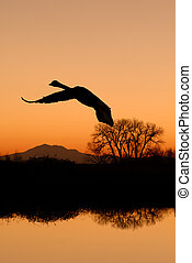 Canadian Goose Flying at Sunset - Lone Canadian goose...