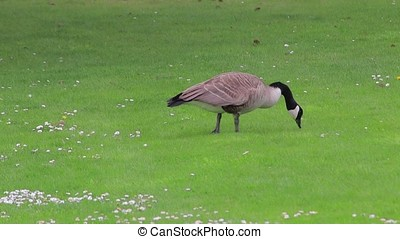 canadian goose graising in grass - large canadian goose...
