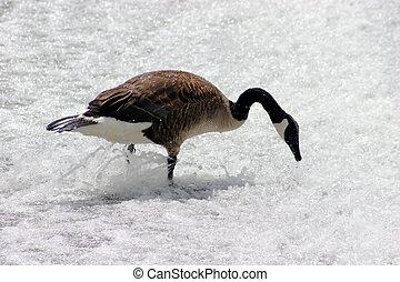 Canadian Goose at the foot of a small waterfall looking for food to eat