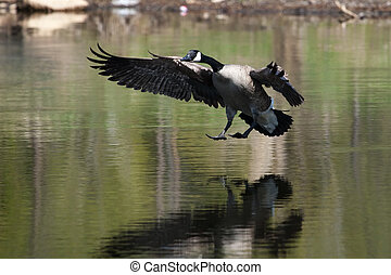Canadian goose landing on water