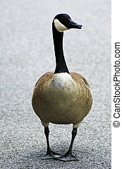 Canadian Goose on pavement