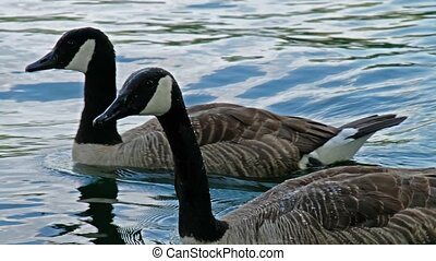 Canadian Goose swimming in a small pond.