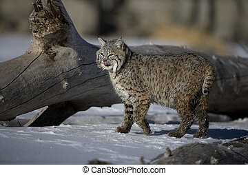 Canadian lynx, Lynx canadensis, single cat in snow,