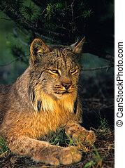 Canadian Lynx Portrait