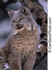 portrait of a canadian lynx on a snowy day