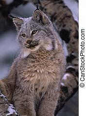 Canadian Lynx - portrait of a canadian lynx on a snowy day