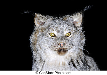 Canadian Lynx - A taxidermy mount of a Lynx Canadensis over...