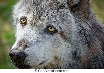 Canadian wolf head behind fence