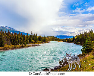 Canadian wolf on the lake