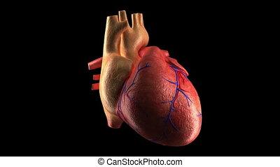 canal, alpha, battement coeur, humain