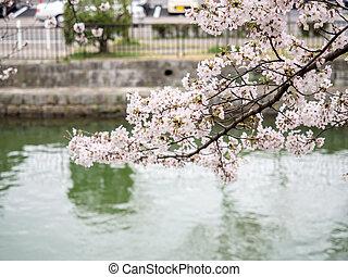 canal, fleur, branches, couverture, cerise