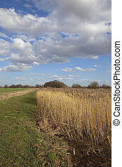 canal with reed bed - canal and towpath with a golden reed...