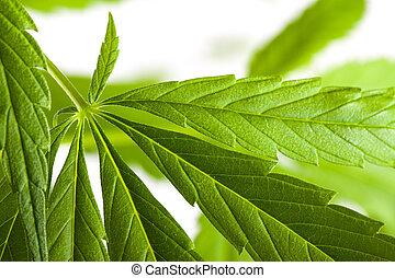 canapa, bianco, marijuana, fondo, pianta