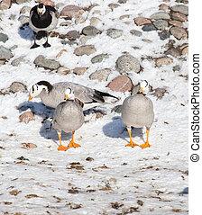canard, hiver, neige