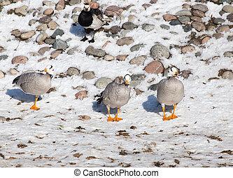 canard, sur, neige, dans, hiver