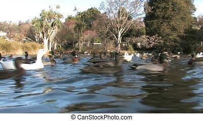 canards, dans parc, lac