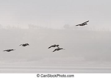 canards, vol, brouillard