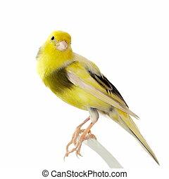 canaria, serinus, amarillo, canario