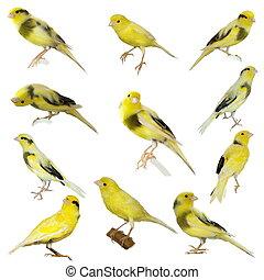 canaria, serinus, conjunto, amarillo, canario