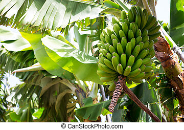 canarian, banan, plantering, platano, in, la, palma