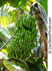 canarian, banana, plantação, platano, em, la, palma