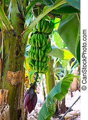 Canarian Banana plantation Platano in La Palma