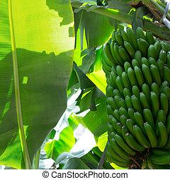 canarian, plátano, plantación, platano, en, la, palma