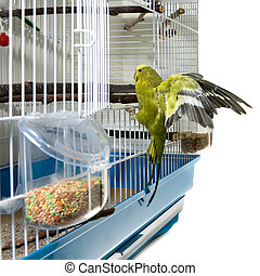 Canary bird - A domestic canary bird landing in his cadge...