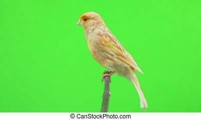 canary  is isolated on the green screen