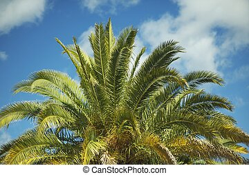 Canary Island Date Palm - ( Phoenix Canariensis ) Large Majestic Palm, With a Very Solid Trunk, and Long Feather Leaves With Spined Petioles. California USA