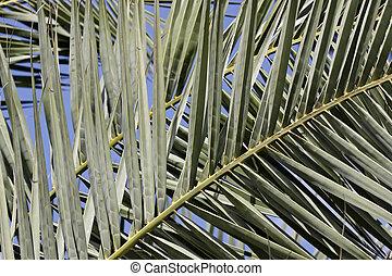 Canary Islands Date Palm - Date palm, Canary Islands Date...