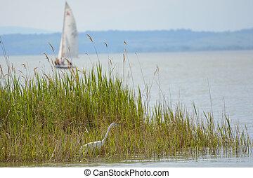 canas, sailboat, garça, -, lago, neusiedl, áustria