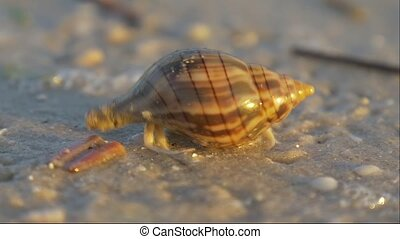 Small hermit crab in the sand - Cancer hermit quickly hides...