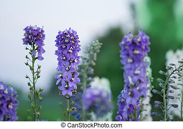 Candle Larkspur double flowers. Candle Delphinium or English...