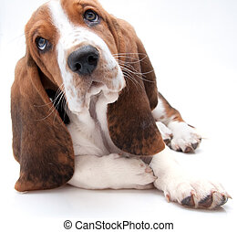 cane caccia bassetta, cucciolo, closeup
