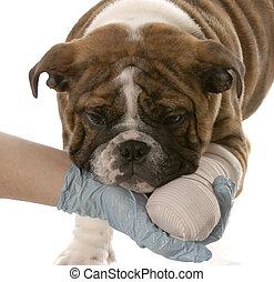 cane, con, gamba rotta