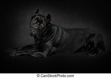 Cane Corso dog in front of black background