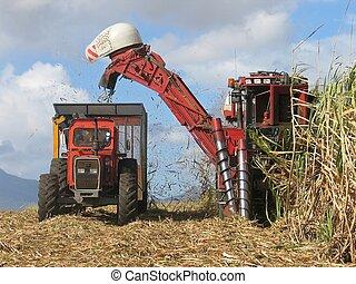 Cane harvest - Sugar cane harvesting in Mauritius Processed...
