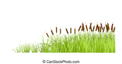 Cane on white background. - Marsh grass, isolated on white...